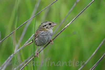 Henslow' s Sparrow