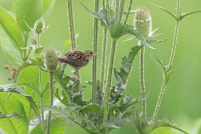 Henslow's Sparrow