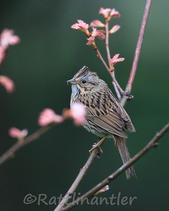 Lincoln's Sparrows