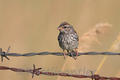 Savannah Sparrow - immature