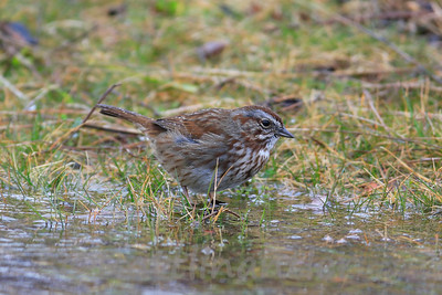Song Sparrow - Pacific Northwest Coloration