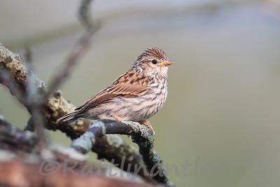Vesper Sparrow (?)