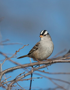 White Crowned Sparrow, Taylor Lake, OK