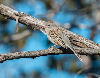 Field Sparrow, Wichita Mountains Wildlife Refuge, OK