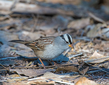 White-crowned Sparrow, Bosque Del Apache National Wildlife Refuge, NM