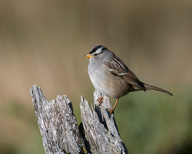 White-crowned Sparrow, Rocky Mountain National Park, CO