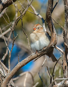 Field Sparrow, Wichita Mountains Wildlife Refuge, OK