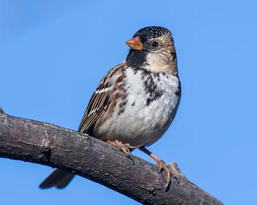 Harris Sparrow, Wichita Mountains NWR, OK