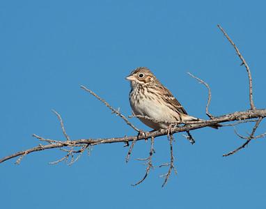 Song Sparrow (???), Wichita Mountains Wildlife Refuge, OK
