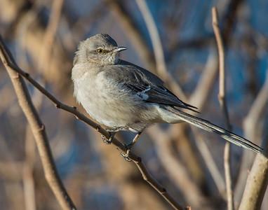 Northern Mocking Bird, Taylor Lake, OK