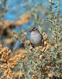 White Crowned Sparrow (juvenile), Bosque Del Apache National Wildlife Refuge, NM