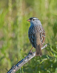 White-crowned Sparrow, Hackberry Flats Wildlife Management Area, OK