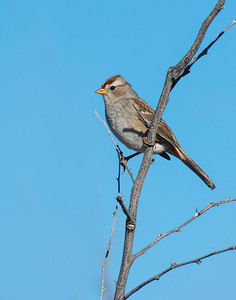 White-crowned Sparrow (Immature), Bosque Del Apache National Wildlife Refuge, NM