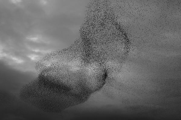 Starling Murmuration
