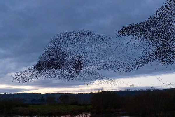Starling Murmuration - The Ducks Head