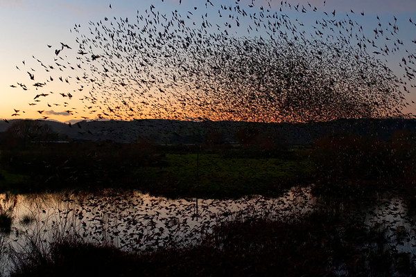 Starling Murmuration - Coming Into Roost