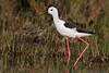 cigüeñuela, Black-winged Stilt, Himantopus himantopus