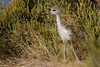 Black-winged Stilt chick (Himantopus himantopus) in the Saltmarsh