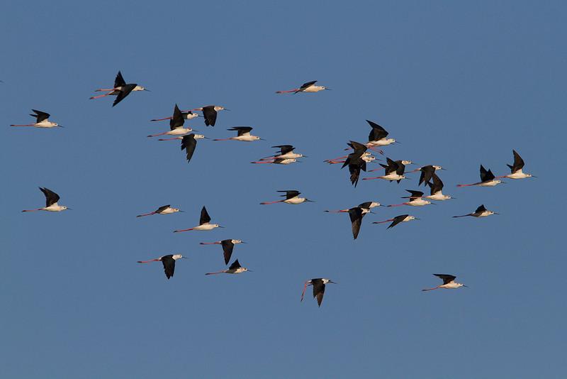 a flock of stllts
