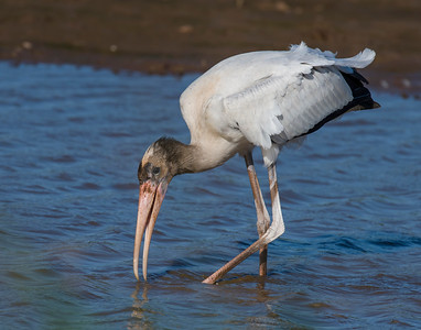 Wood Stork, Comanche County, OK