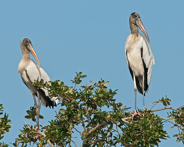Wood Stork, High Island, TX