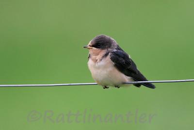 Barn Swallow - immature