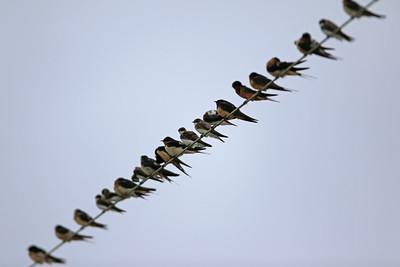 Barn Swallows and Bank Swallows