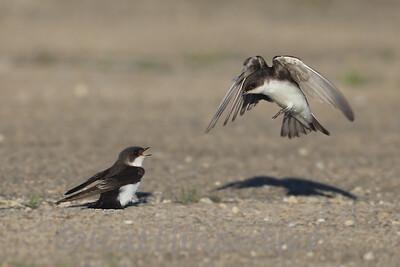 Tree Swallows - Juvenile