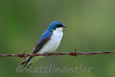American Tree Swallow