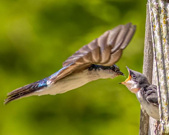 Swallows feeding fledglings