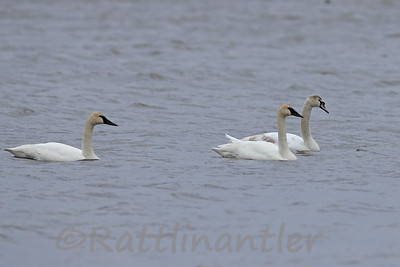 Trumpeter Swans and Immature Mute Swan