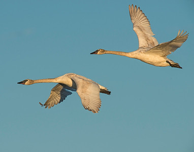 Trumpeter Swan, Squaw Creek National Wildlife Refuge, MO