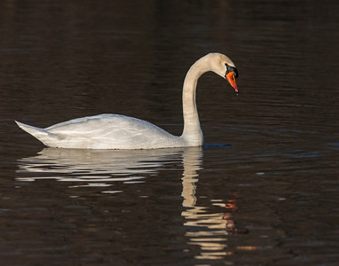 Mute Swan, White Rock Lake, TX