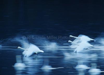 RJ036545 - Tundra Swans Taking Off