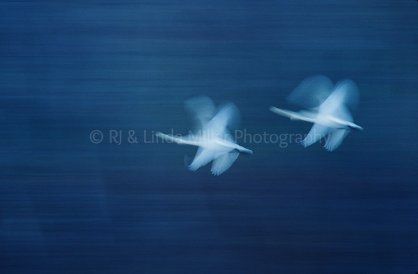 RJ036487-00 - Tundra Swans In Flight, Slow