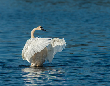 Trumpeter Swan, Seney National Wildlife Refuge, MI