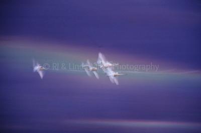 RJ036500-00 - Tundra Swans in Flight