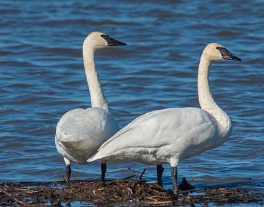 Trumpeter Swan, Squaw Creek National Wildlife Refuge, MO