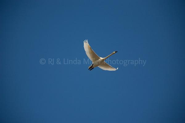 Tundra Swan in Flight