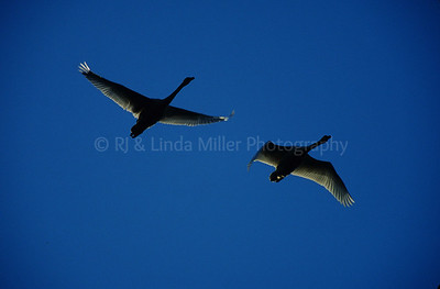 RJ036763-00 - Tundra Swans In Flight