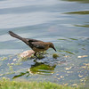 Great Tailed Grackle