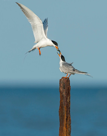 Forster's Tern, Boliver Peninsula, TX