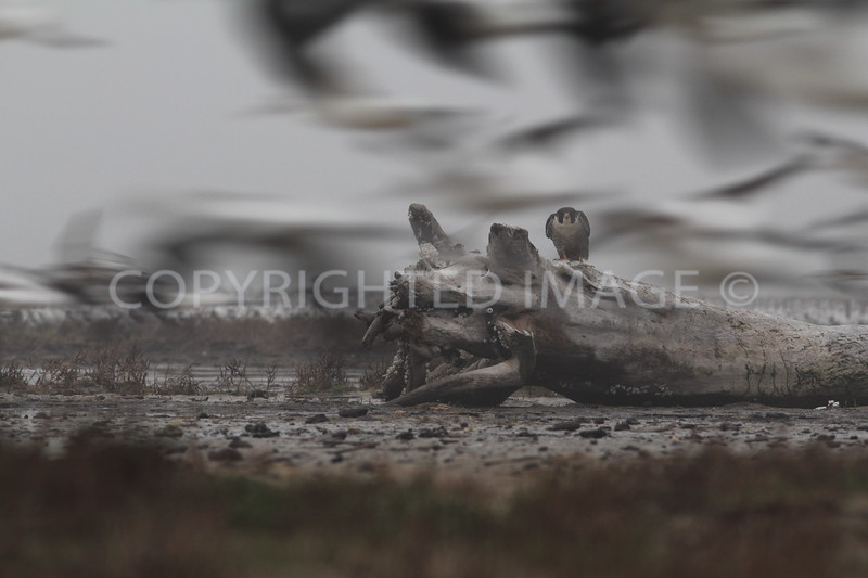 Peregrine Falcon peering through a flock of shorebirds in flight.  Galveston County, Texas.  2013.01.12