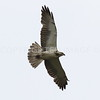 Swainson's Hawk, Matagorda County, TX 04.16.2016.  Saw 8 resting on the surface of a plowed field.  Feather molt visible on the wings.