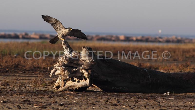 Peregrine Falcon, Galveston County, Texas, 2013.01.20