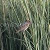 Nelson's Sparrow, Galveston County, Texas, 10.09.2013