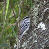 Black-and-white Warbler, Brazoria County, Texas, 2016.05.02