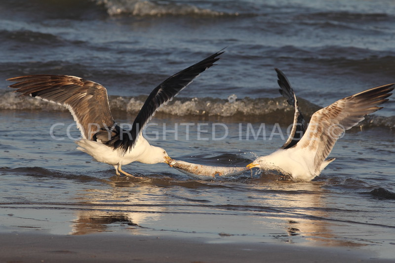 Lesser Black-backed Gulls battling for an eel.  Sargent Beach in Matagorda County, TX.  2015.08.29