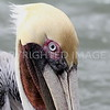 Brown Pelican, 02.23.2013, Chambers County, TX