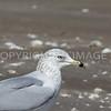 Ring-billed Gull, 01.28.2012, Brazoria County, Texas